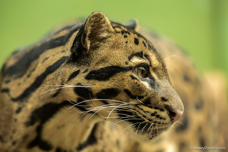 Опасная красота. Дымчатый леопард и его образ