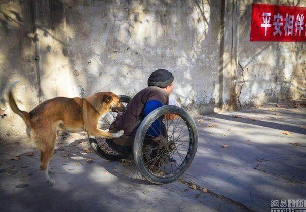 Каждое утро эта собака катит коляску с инвалидом на городской базар…