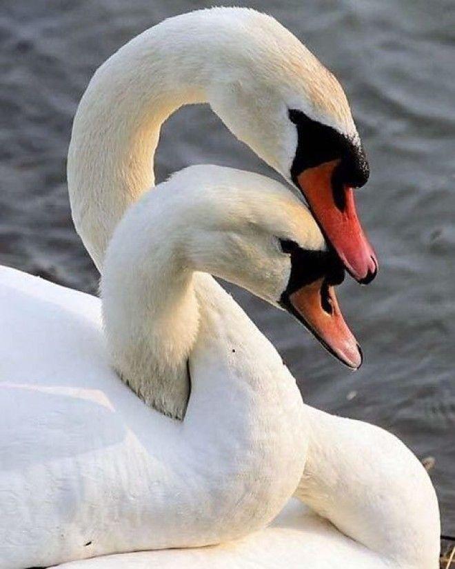 Картинки лебединая верность влюбленные обнимаются, золотого ключика или