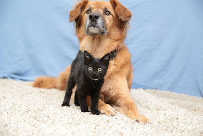 Пёс Бутс, который работает кошачьей няней