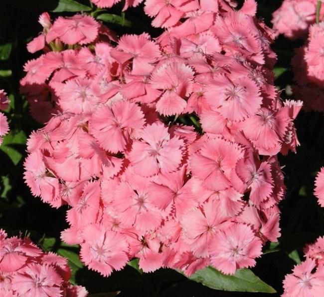 Сорт турецкой гвоздики Newport pink фото