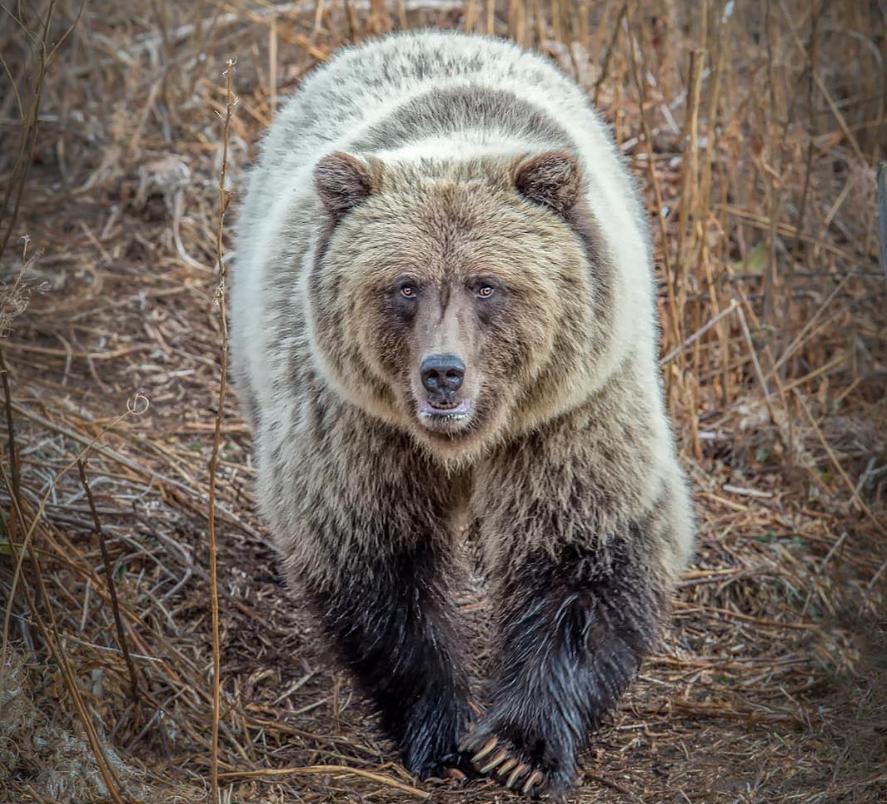 гибрид белого и бурого медведя фото всего сердца