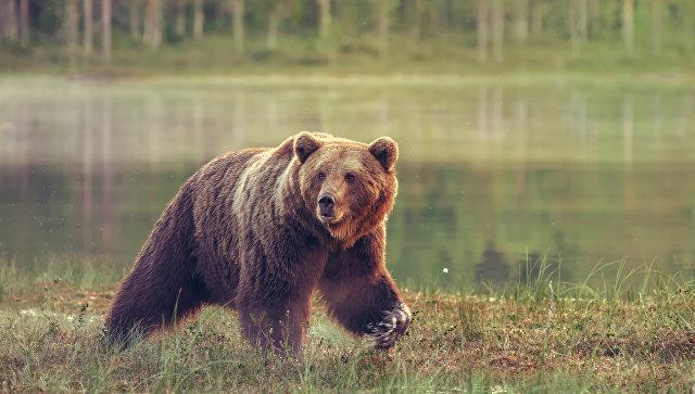 Под Иркутском медведь откусил руку пьяному мужчине, пытавшемуся покормить его сгущёнкой