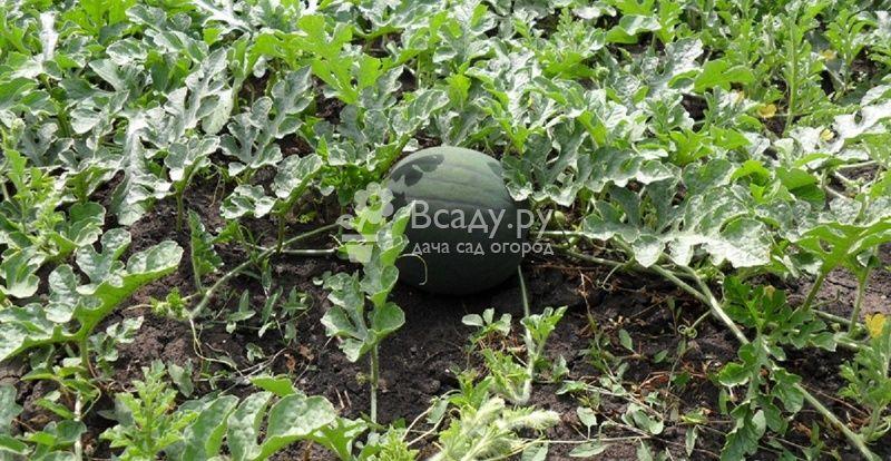 Арбуз Сахарный хорошо растет в полутени других растений