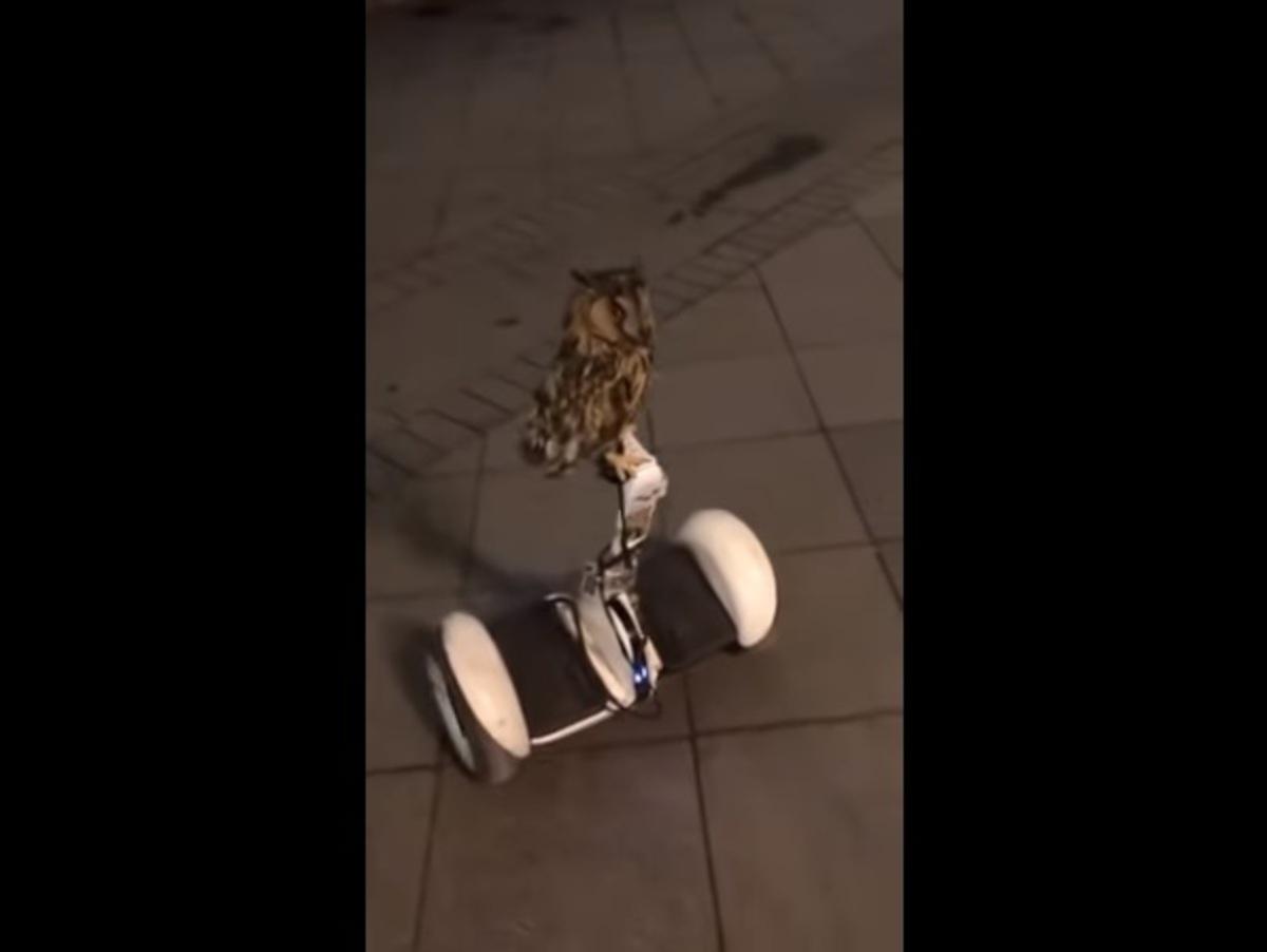 Иностранцы сняли в Москве сову, катающуюся на гироскутере
