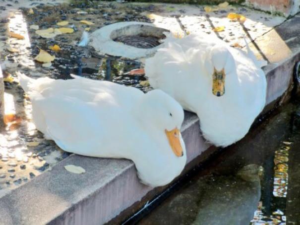 В жару тают даже утки! животные, расслабленность, смешно, фото