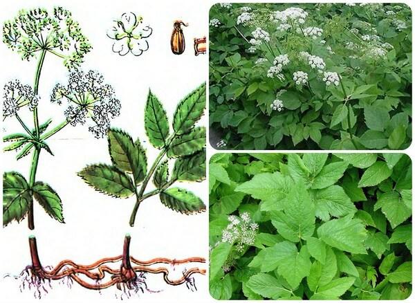 целебное зеленое растение
