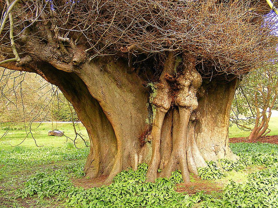 странное дерево фото капуста
