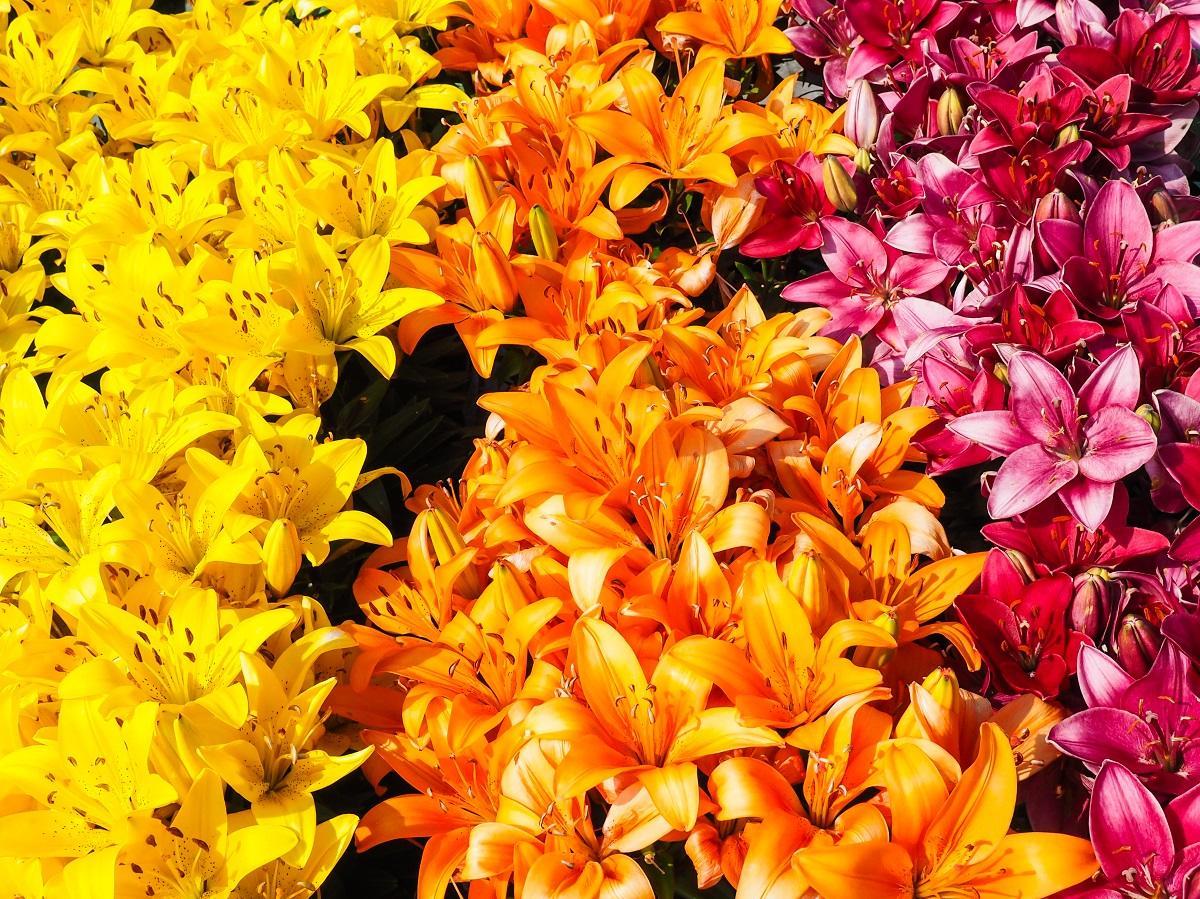 Лилии разных цветов