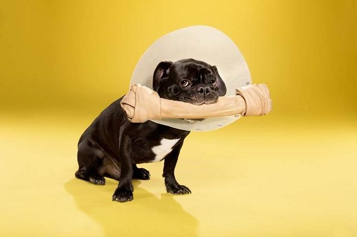 Собака в конусе позора.
