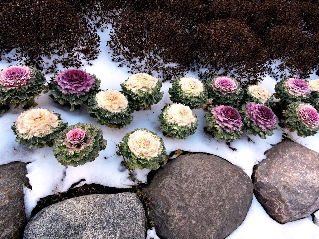 декоративная капуста в ландшафтном дизайне фото