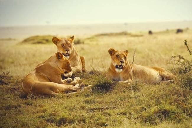 Как львы спасли девочку из рук похитителей, а морской лев не дал мужчине утонуть: 10 случаев, когда дикие животные спасли людей. животные,происшествия,спасение