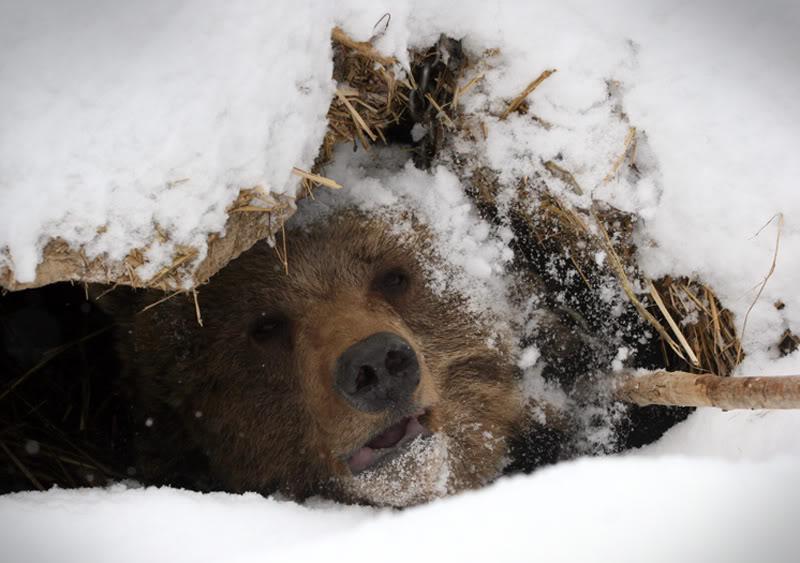 зеленый лист, медведь в берлоге фото животного него