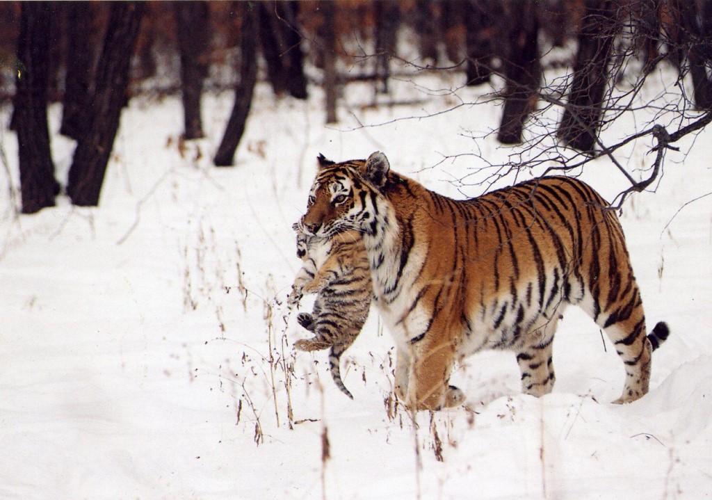 Мурзик, Михалыч и остальные или особенности тигриной рыбалки