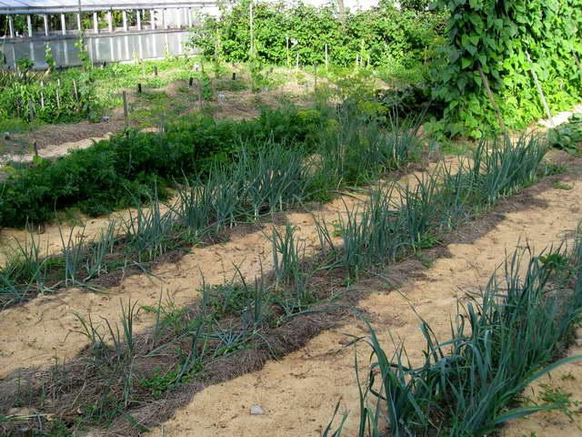 Хитрости в обустройстве узких грядок: огород Лядова