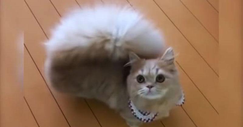 Кошечка с хвостом, как у белки. Уникальная порода, в которую невозможно не влюбиться!