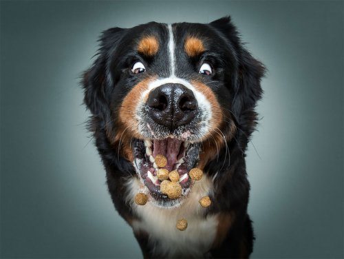 Выражение и эмоции собак, ловящих на лету свои любимые угощения
