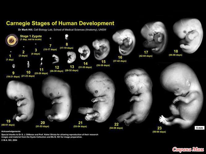 Картинки по запросу Для образования одноклеточного эмбриона