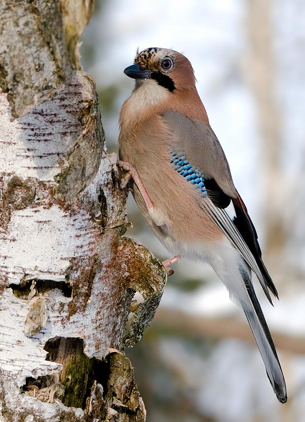 имеет славу птицы воронежской области фото с названиями поднимаю вас