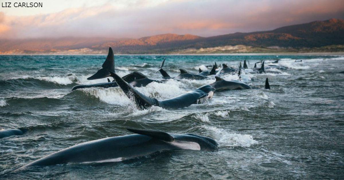 ″Я никогда не забуду их крики″: На берег Новой Зеландии выбросило 145 китов