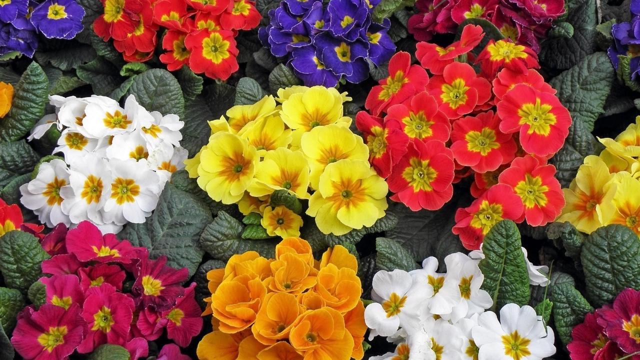 Первоцвет примула весне двери открывает
