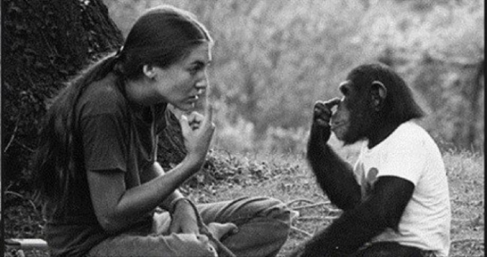 История шимпанзе Вашо