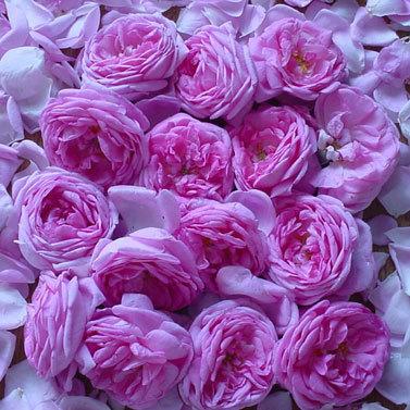 Из розы чайной ешь варенье, и наступит исцеление