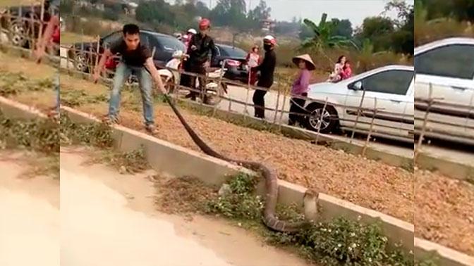 Гигантская кобра устроила пробку на дороге во Вьетнаме