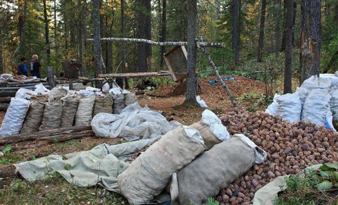 Как добывают кедровые орехи
