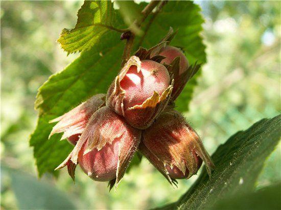 Орех лещина, фундук,орешник,лесной орех к Ореховому Спасу