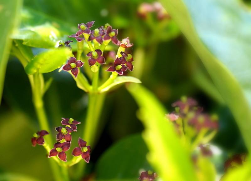 Аукуба цветет