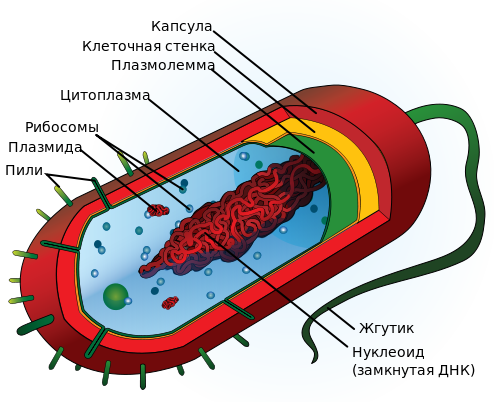 Строение типичной клетки прокариот / ©wikipedia