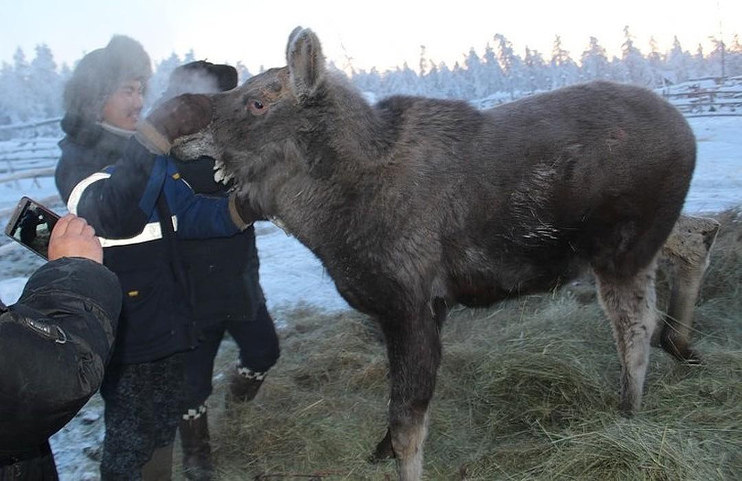 За год из маленького, слабенького лосенка Бэчэ превратился в здорового молодого сохатого. Фото: ulus.media.