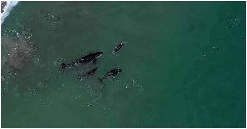Незабываемый опыт: любопытные косатки поплавали рядом с купающейся женщиной