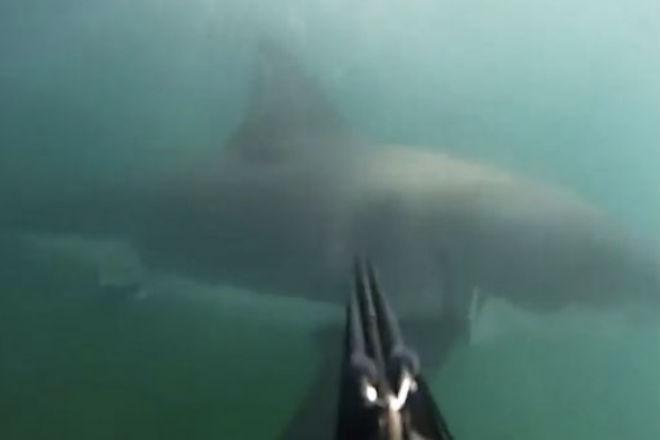 Огромная белая акула внезапно выплыла из темных глубин прямо к дайверу акула