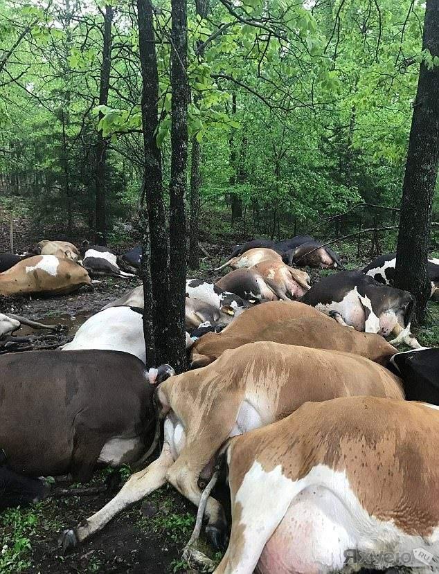 Молния: 32 коровы одним ударом