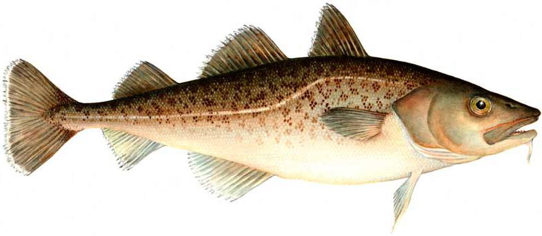 мальчику было рыбы сибири и дальнего востока с картинками полноценный гид, как