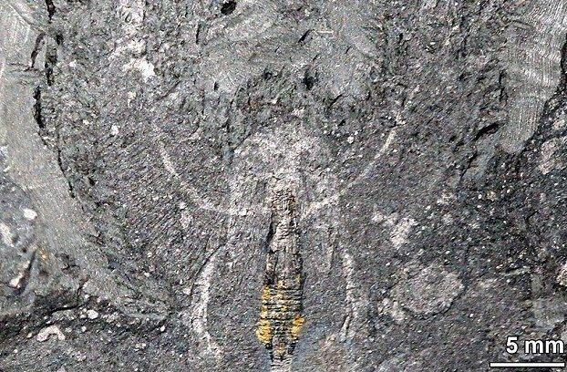 Ученые обнаружили мозг древнего хищника вымершие членистоногие, гренландия, древние организмы, земля до начала времен, наука, открытие, палеонтология. находка, ученые