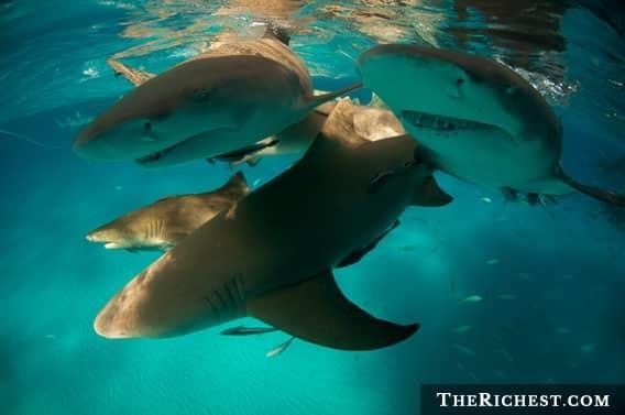 Цикл жизни у акулы море, океан, ужасы