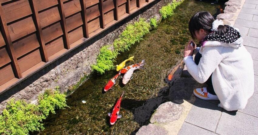 Красота вокруг: в городе Симабара по улицам плавают карпы города,карпы,Япония