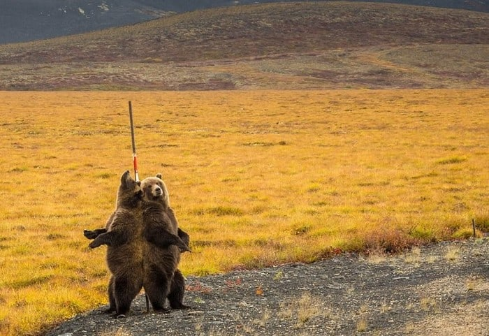 Трутся спиной медведи ) медведь, гризли, Канада, длиннопост