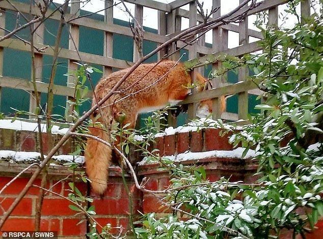 Этот дерзкий лис отважился войти в Эссексский сад Карла Марстона и застрял в деревянной решетке животные, застряли, смешно, спасение, чудесные истории