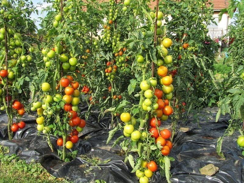 Как получить урожай помидоров, которым можно удивить всех.  Не пропустите!!