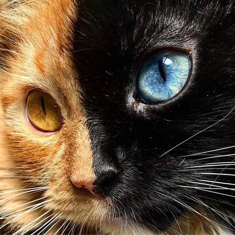 А левая — чёрная с синим глазом домашний питомец, животные, кошка, красота, окрас, смесь, химера