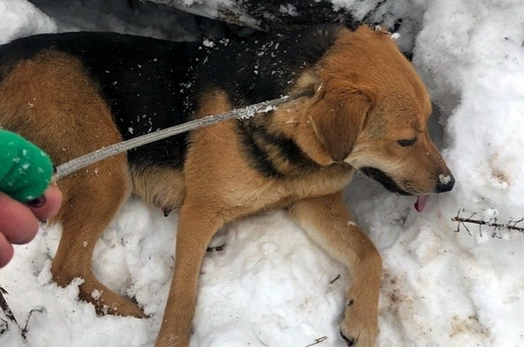 Собаке долго удавалось избегать отлова зоозащитниками. Фото: Елена Зиновьева.