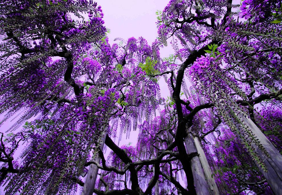 Завораживающее зрелище: цветочный дождь в парке Асикага Асикага,глицинии,Япония