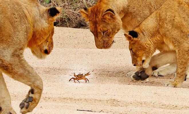1 краб идет по земле 4 львов: видео из заповедника, где краб невозмутимо игнорирует целый прайд