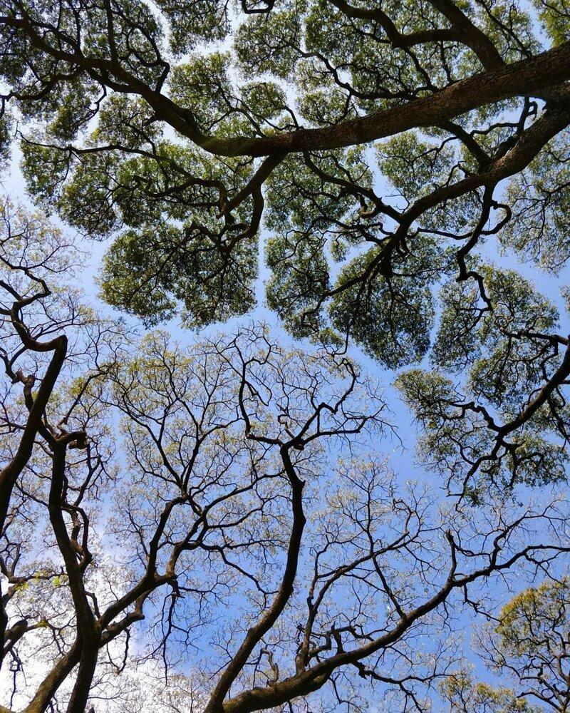 Застенчивость кроны — феномен, при котором кроны деревьев не соприкасаются друг с другом и образуют купол с каналообразными прожилками катаклизмы, природа, растительность