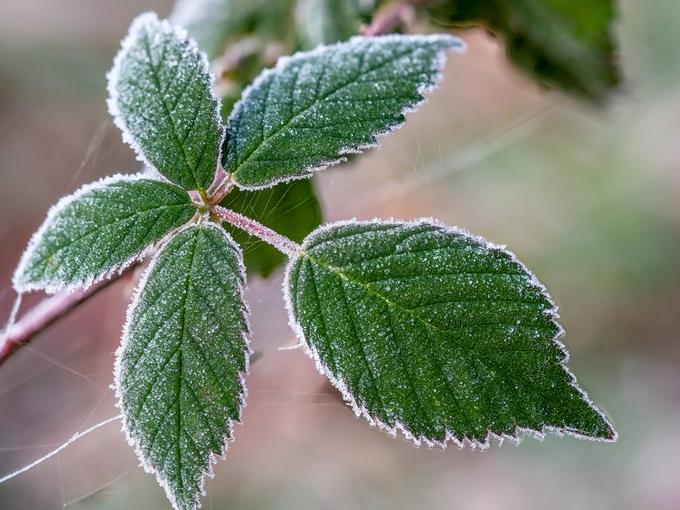 Страшен ли мороз без снега в саду?