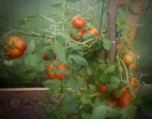 Первые сладкие томаты!